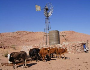 Cattle enjoy fresh water from the repaired windmill