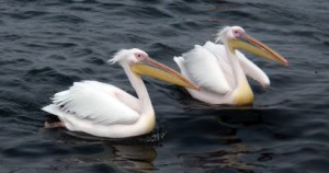 Pelicans coming by for a snack